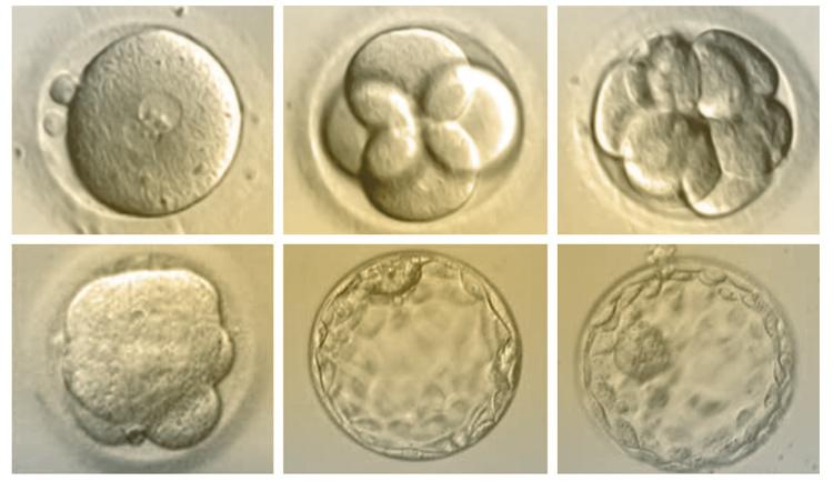 Sviluppo embrioni